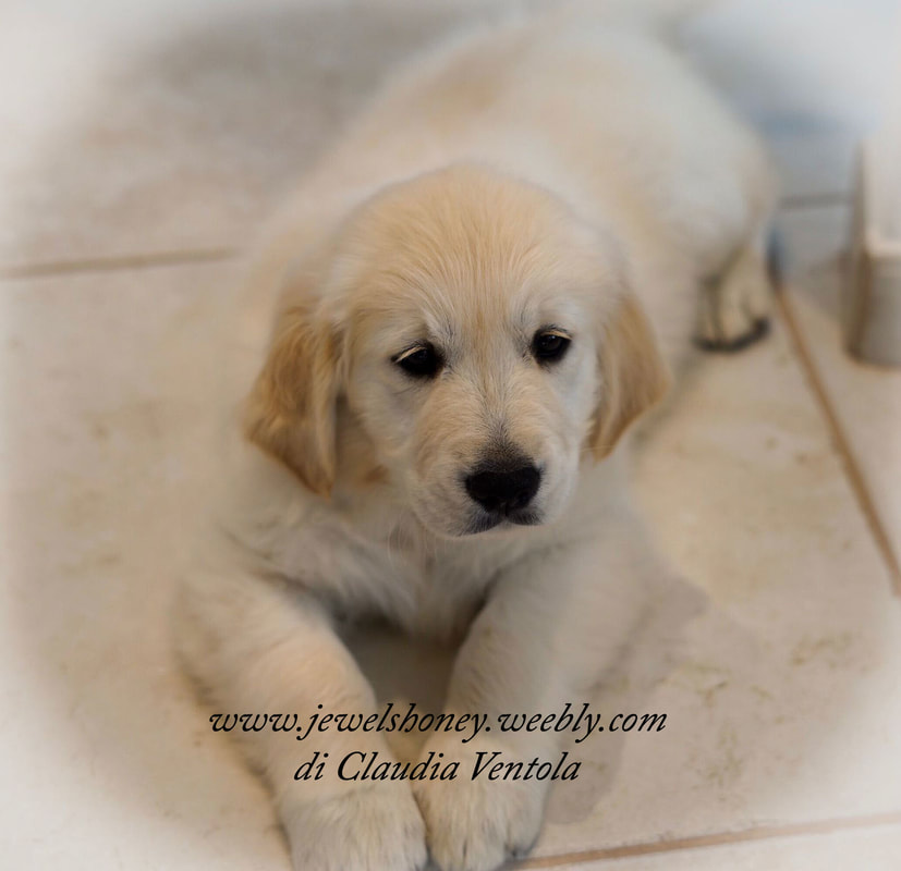 Golden Retriever Cuccioli All My Jewels Honey